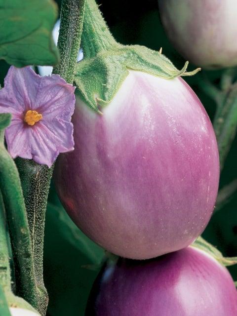 Eggplant, Rosa Bianca