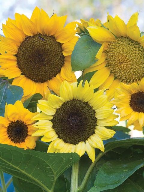 Sunflower, Pristine Mix Hybrid