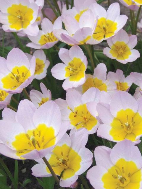 Tulip bakeri, Lilac Wonder