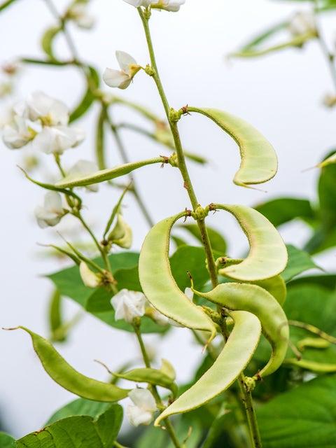 Hyacinth Bean Vine, Silver Moon