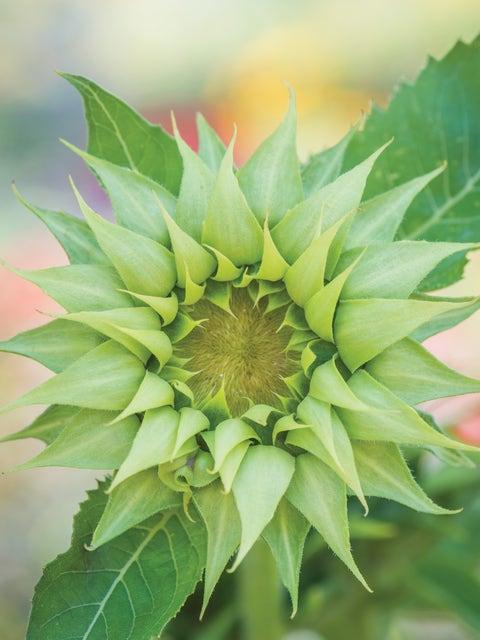 Sunflower, Sun-Fill Green Hybrid