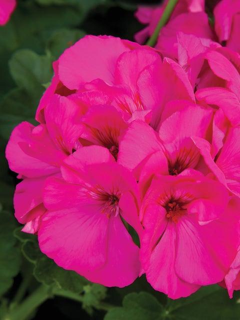 Geranium, Calliope Lavender Rose