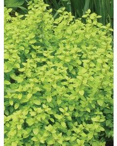 Herb, Oregano, Golden