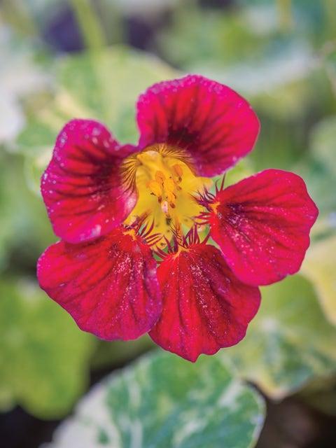 Nasturtium, Troika Red