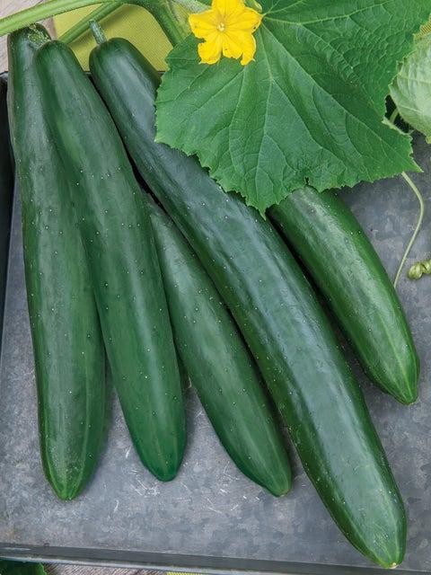 Cucumber, Summer Dance Hybrid