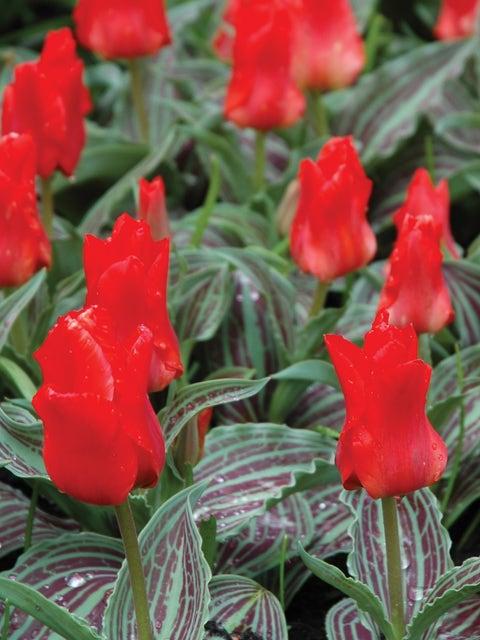 Tulip, Red Riding Hood