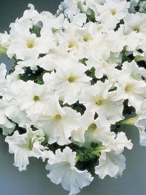 Petunia, Supercascade White