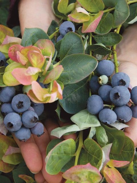 Blueberry, Peach Sorbet