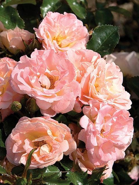 Rose, Peach Drift