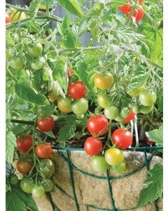 Tomato, Sweetheart Of The Patio Hybrid