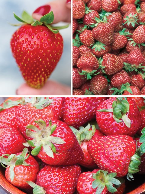 Strawberry, Three Great Strawberries Collection