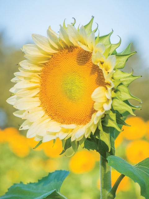 Sunflower, ProCut White Lite