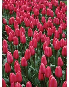 Tulip, Cosmopolitan