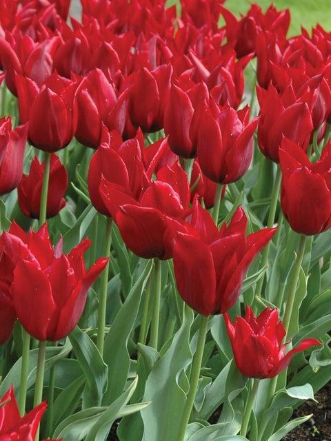 Tulip, Jennie Butchart