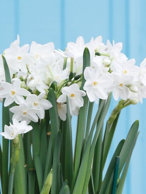 Narcissus, Paperwhite Ariel