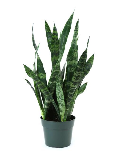 Sansevieria (Snake Plant), Black Coral