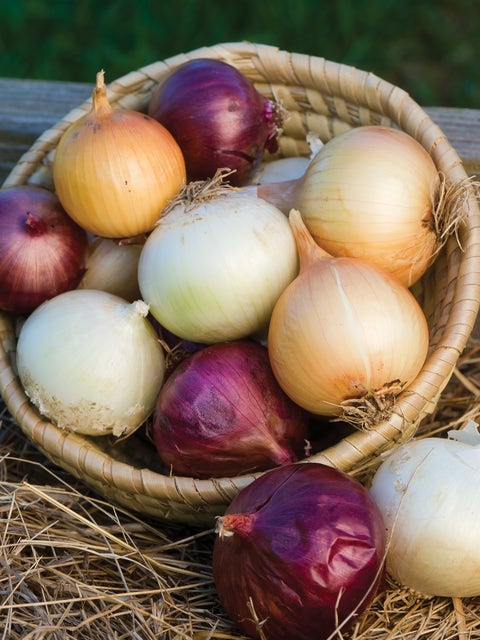 Onion, Long Day Collection