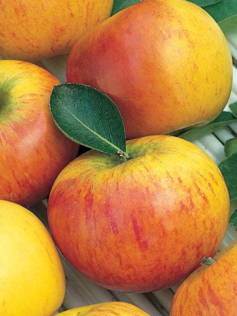 Apple, Coxs Orange Pippin