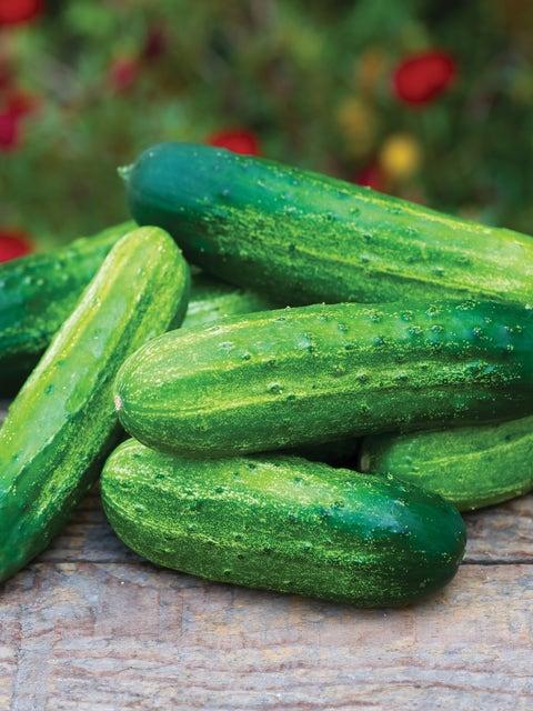 Cucumber, Pick a Bushel Hybrid