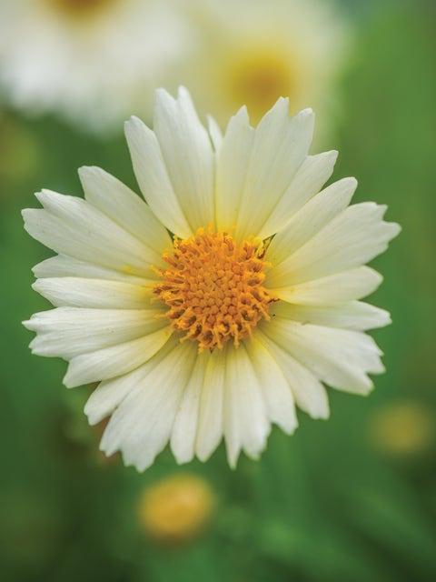 Coreopsis, UpTick Cream