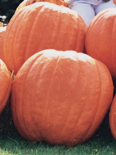 Pumpkin, Atlantic Giant