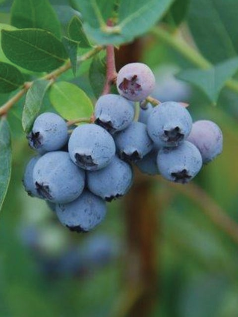 Blueberry, Mini Blues