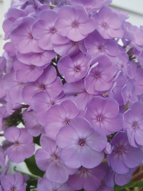 Phlox, Davids Lavender