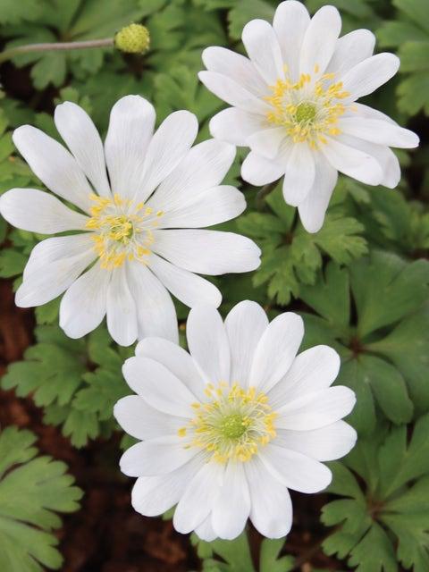 Anemone, White Splendor