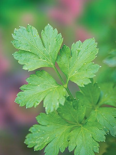 Parsley, Italian Dark Green Organic