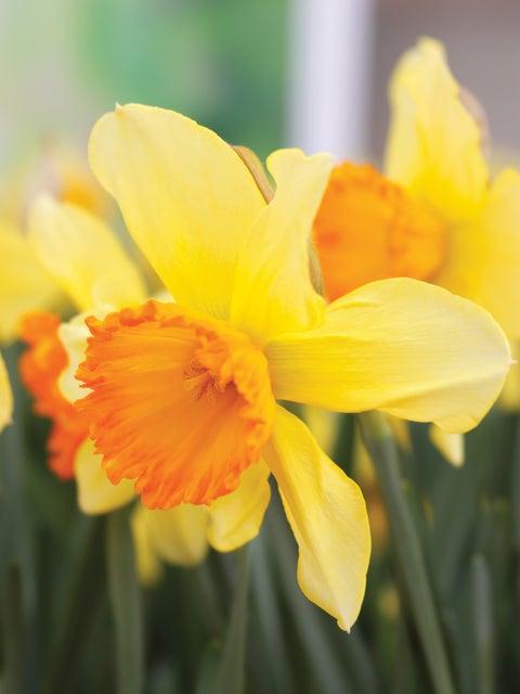 Daffodil, Fortissimo