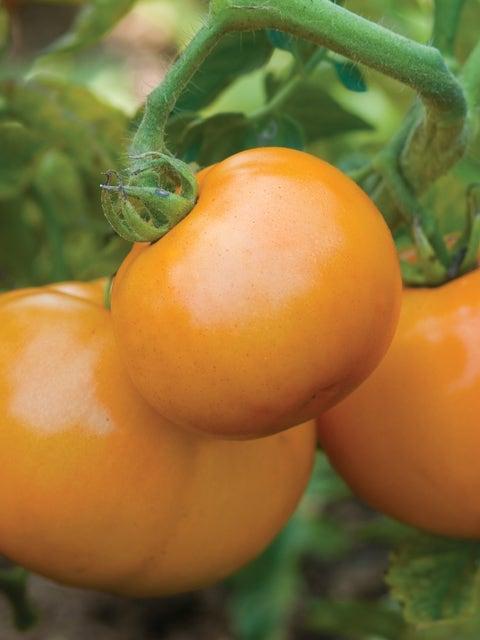 Tomato, Sweet Tangerine Hybrid