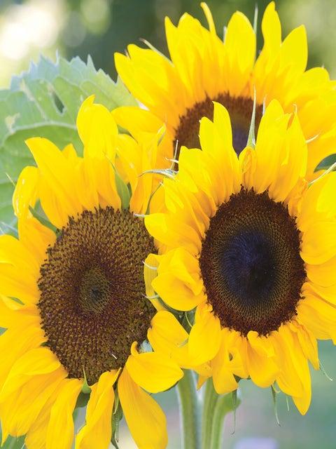 Sunflower, Elegance