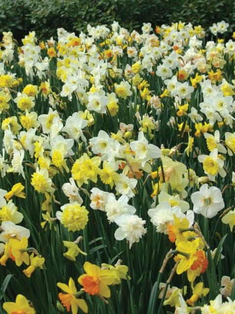 Daffodils, Mixed 1/2 Bushel