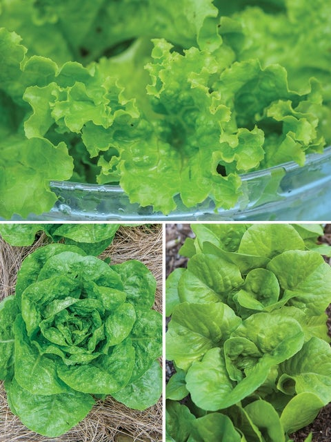 Lettuce, Summer-Long Collection