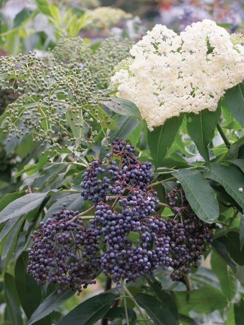 Elderberry, Collection