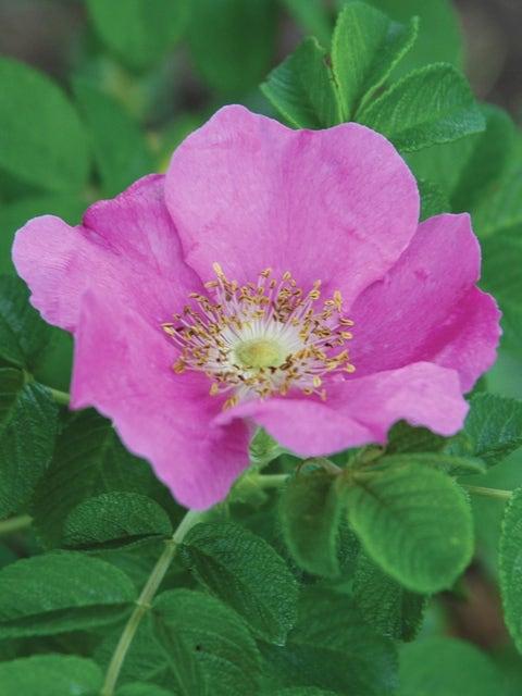 Rosa rugosa, Rubra