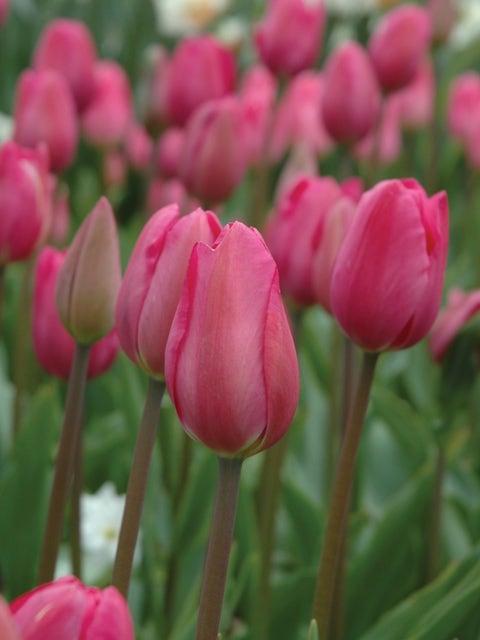 Tulip, Don Quichotte