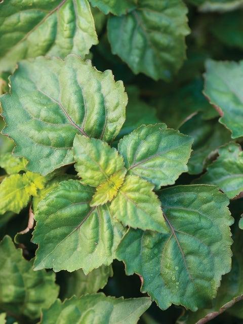 Herb, Patchouli