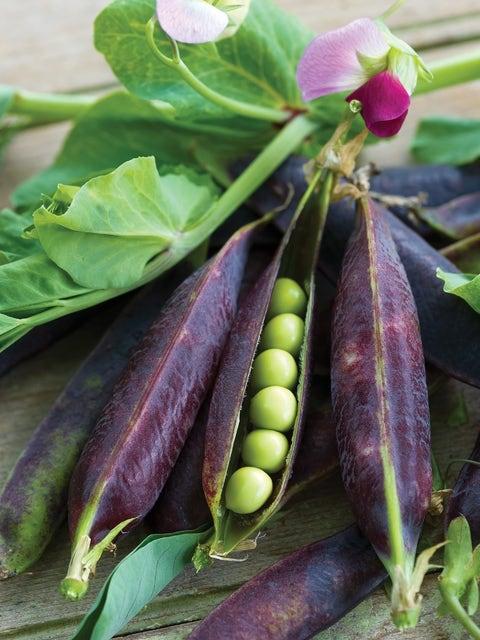 Pea, Purple Podded