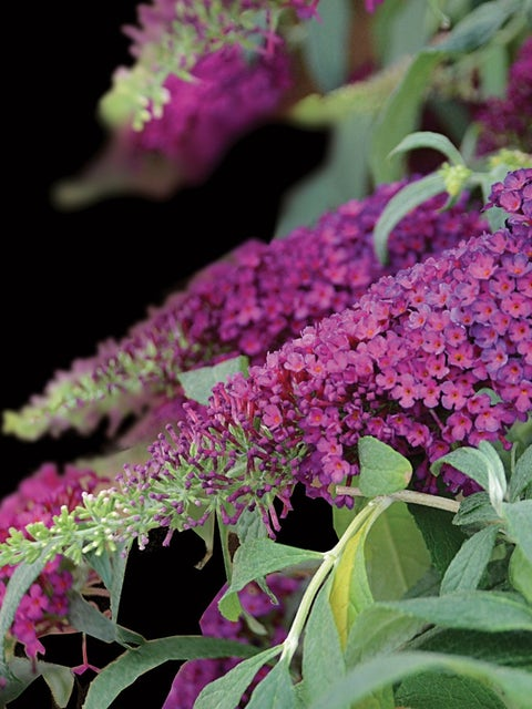 Buddleia, Queen of Hearts