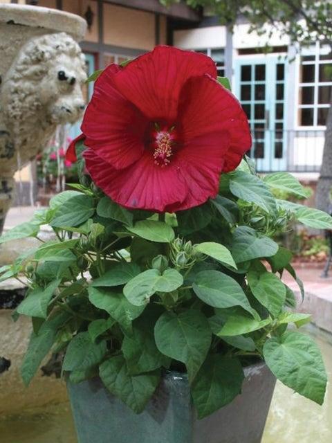 Hibiscus, Honeymoon Red F1