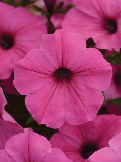 Petunia, ColorRush Pink