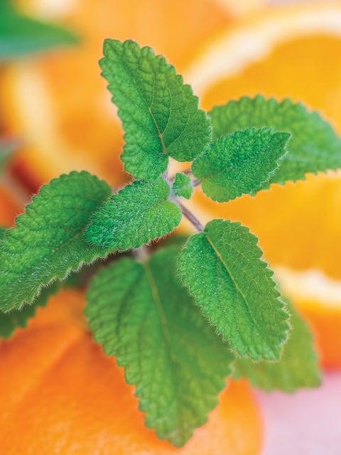 Lemon Balm, Mandarina