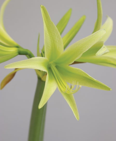 Cybister Amaryllis, Evergreen