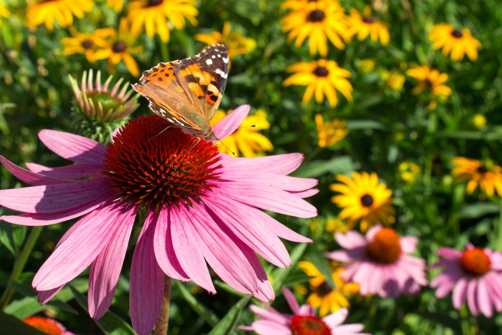 Butterfly pollinating a pink echinacea flower.