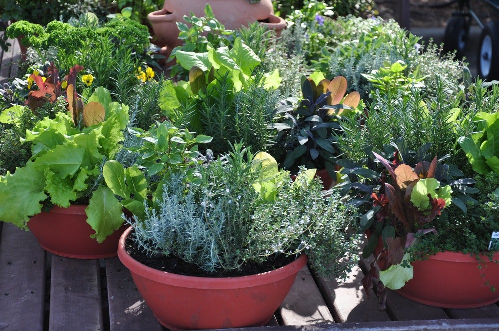 Fresh lettuce and herbs grown in pots outside.